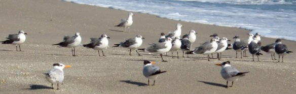 Young Gulls at West Palm Beach