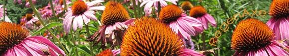 cone-flower-header-2.jpg