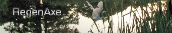 Great White Egret on the Wing