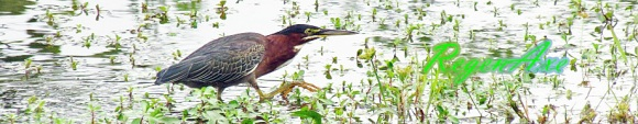 green-heron-header-2.jpg
