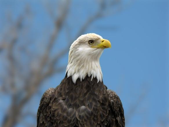 Liberty the Bald Eagle