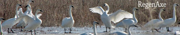 trumpet-of-the-swan-header.jpg