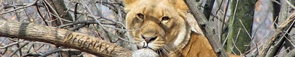 african-lioness-header.jpg