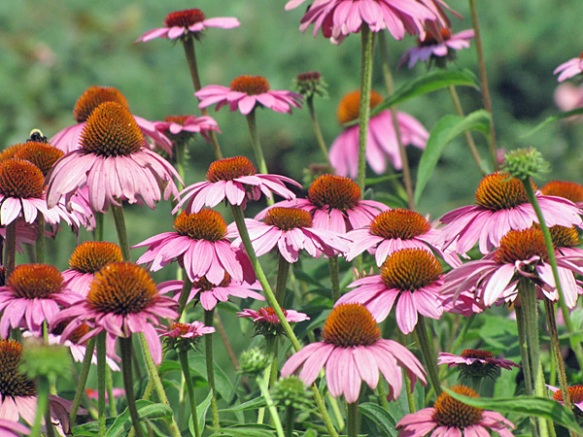 General Sigel's Cone Flowers
