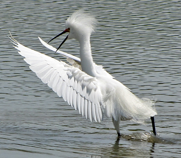 A Snowy Egret Performs a Mating Dance