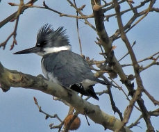 Belted Kingfisher in a Sycamore Tree