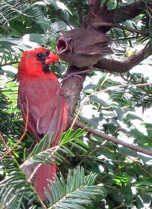 Feeding Cardinals