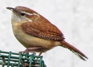 Carolina Wren at the Suet Feeder