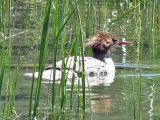 Female Merganser