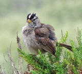 Fluffed Up White Crowned Sparrow