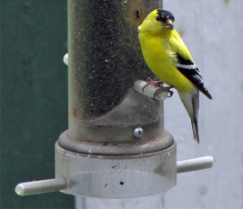 Goldfinch, Male