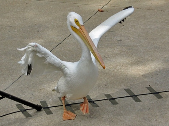 White Pelican on Parade