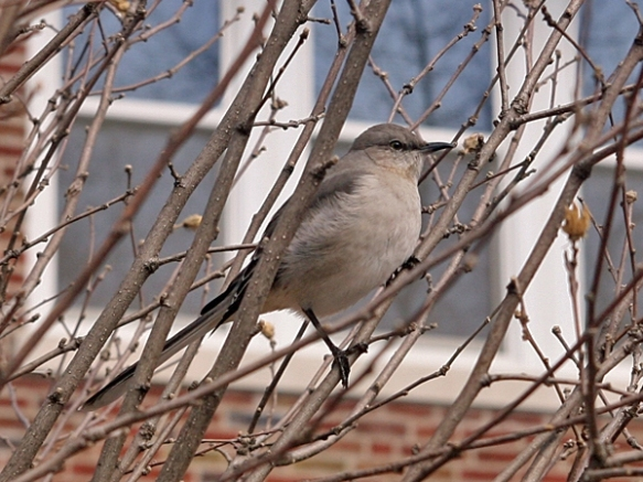 Neighborhood Mockingbird