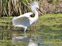 Displaying Male Snowy Egret