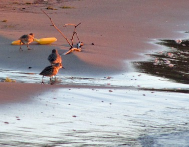 A Trio of Sandpipers and a Yellow Shovel in the Surf