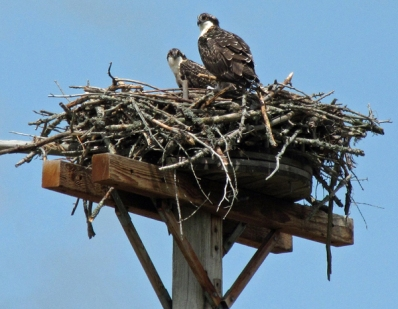 Juvenile Osprey From Vermont