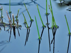 Swamp Creek Reeds