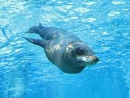 Sea-Lion Under the Sea