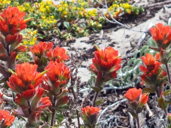 Western Indian Paintbrush in the Sand