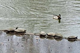 Red Eared Sliders and a Male Mallard