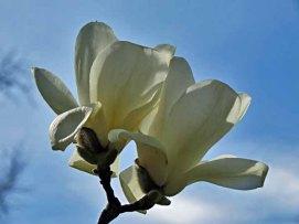 Yulan (Magnolia denudata)