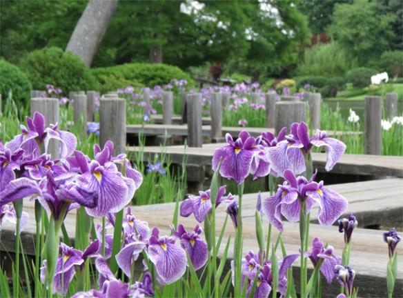 Purple Irises and Zigzag Bridge in the Japanese Garden