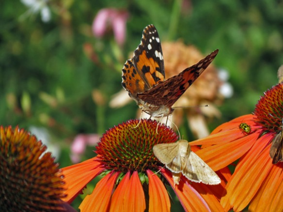 Cone Flowers and Insect Pollinators