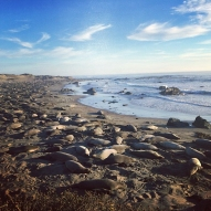An Awful lot of Elephant Seals at Elephant Seal Vista Point