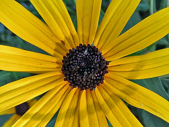 Black-Eyed Susan Close-Up