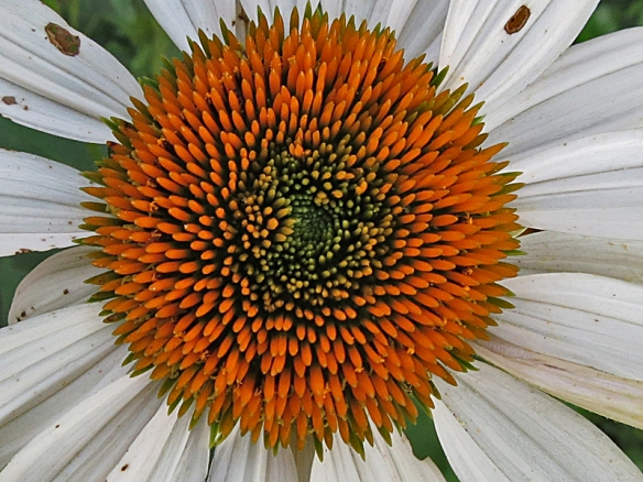 Cone Flower Close-Up