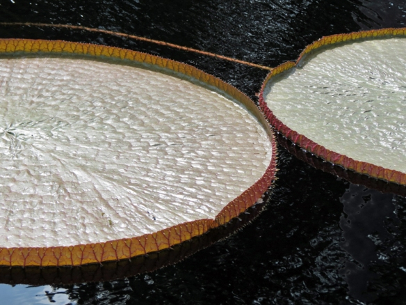 Victoria Water Lily Pads