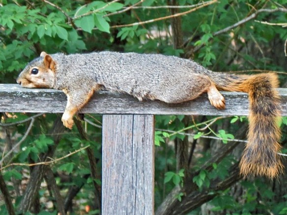 Punked Out Michigan Fox Squirrel