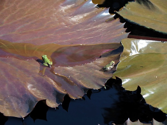 Frogs on Water Lily Leaves