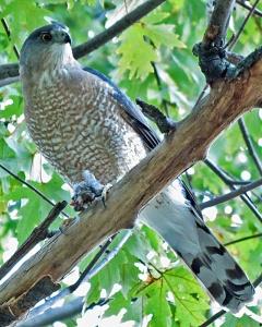 Front Yard Cooper's Hawk