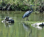 Great Blue Heron with Red Eared Sliders