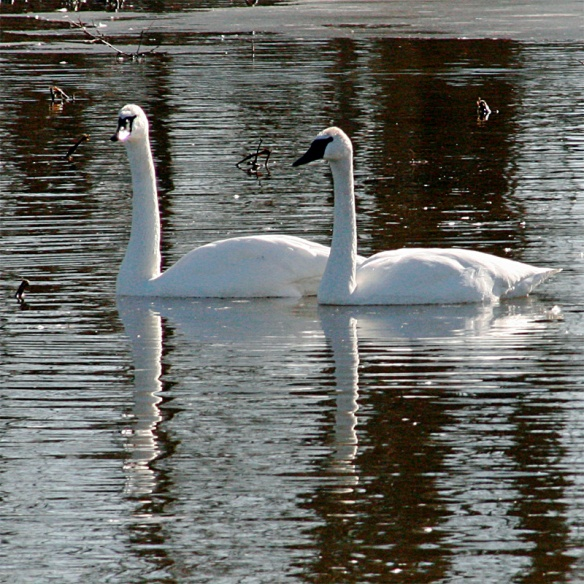 A Pair of Mature Trumpeter Swans