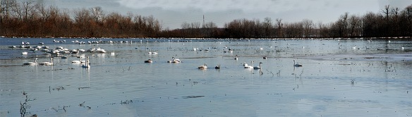 Hundreds of Trumpeter Swans!