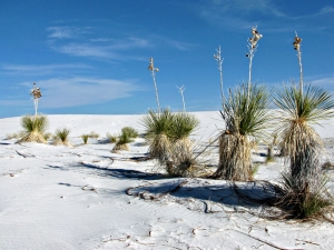 Yucca Plants at White Sands National Monument