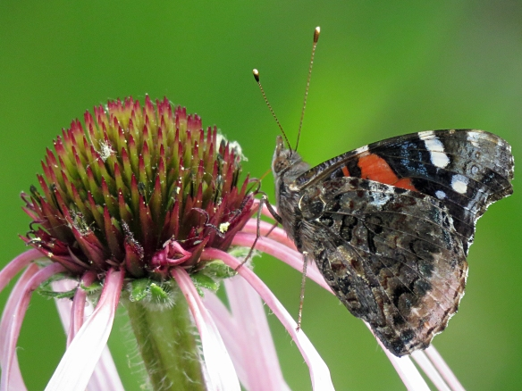 Red Admiral Butterfly and Pink Cone Flower