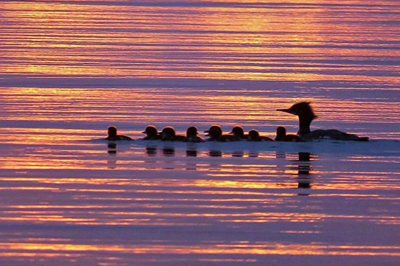 Merganser Ducklings at Sunset