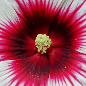 Hibiscus Close-up