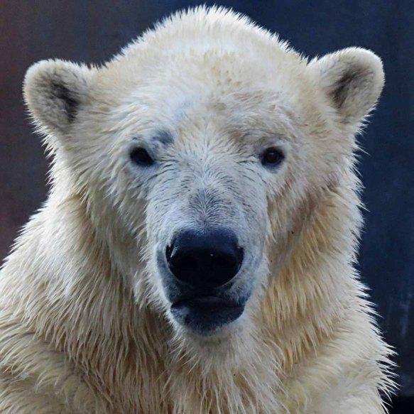 Kali the Polar Bear