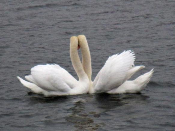 Barton Pond Swans