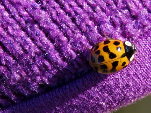 Lady Bug on Purple