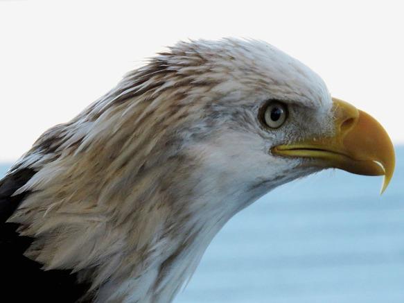 Liberty - American Bald Eagle