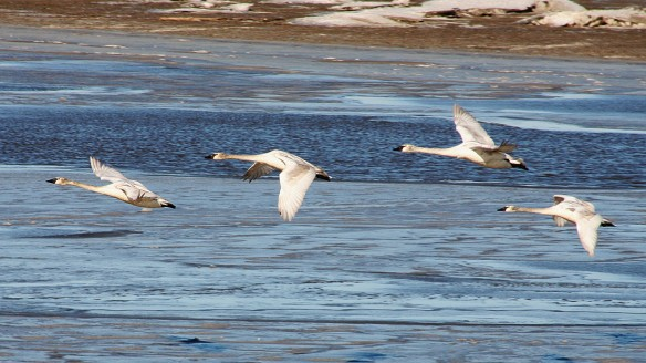 Trumpeter Swans Amid Ice Floes