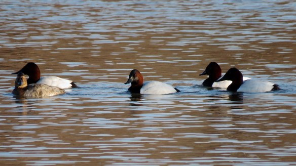 Canvasbacks
