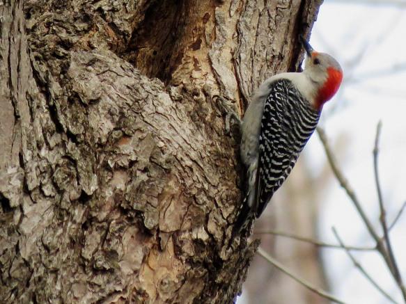 Red-Belly Woodpecker
