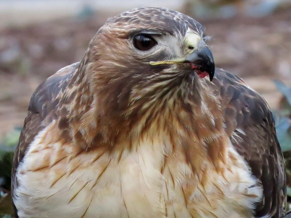 Red-Tailed Hawk Eating Roadkill