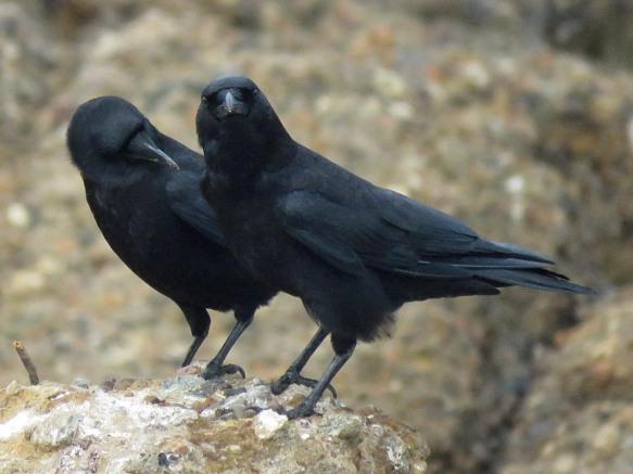 Point Lobos Crows